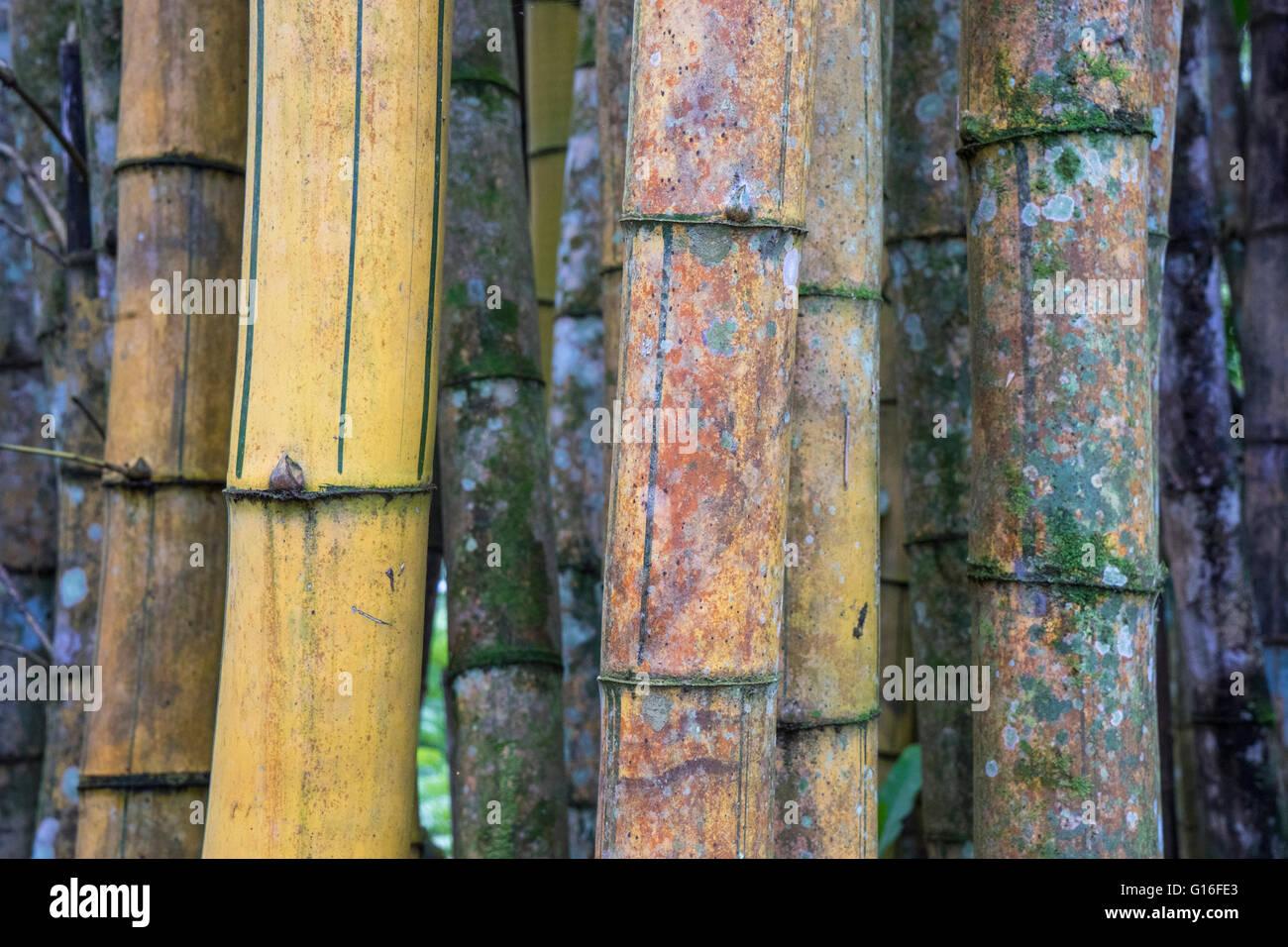 Nahaufnahme von Bambus Stamm Halme in Costa Rica Stockbild