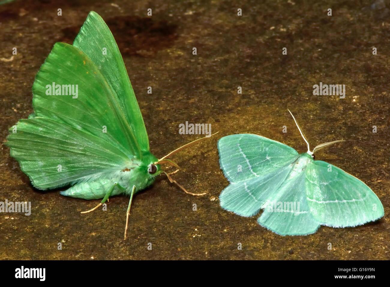 Großer Smaragd (Geometra Papilionaria) und kleinen Smaragd (Jodis Lactearia). Britische Insekt in der Familie Stockbild