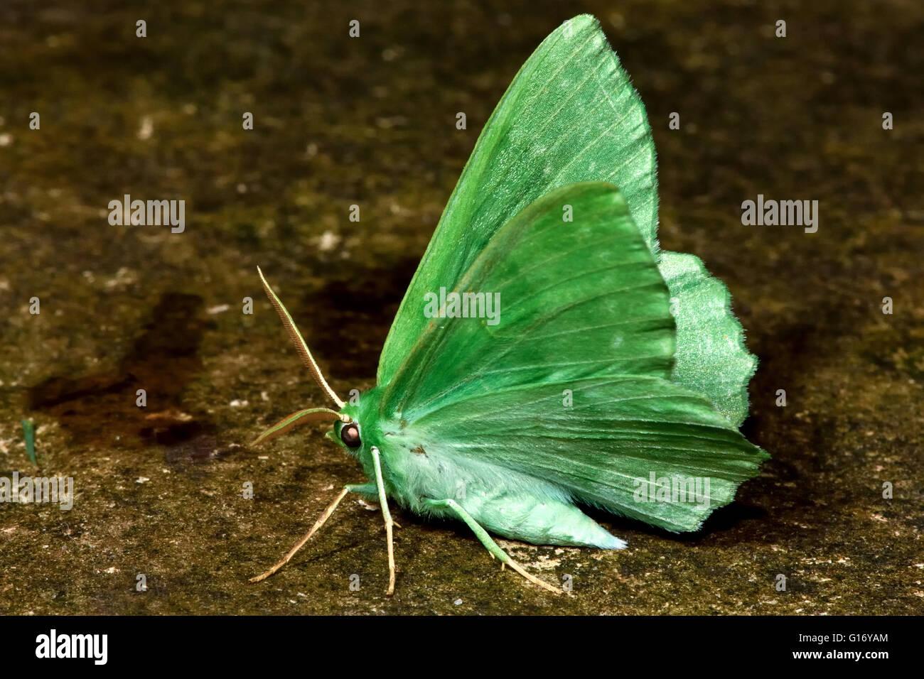 Großer Smaragd Motte (Geometra Papilionaria). Britische Insekt in der Familie Geometridae, Geometer Motten Stockbild