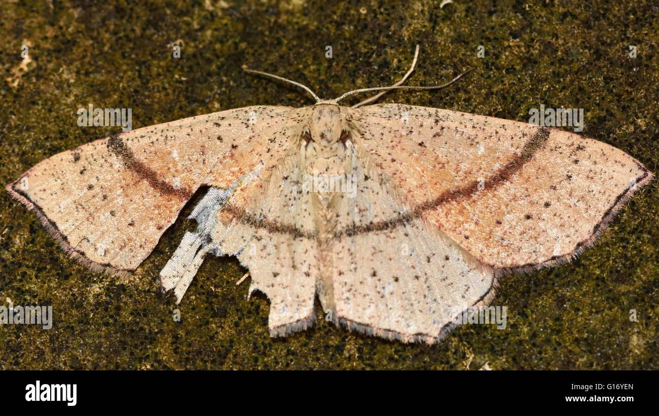 Maidens Blush (Cyclophora Punctaria) nach Vogel Angriff. Britische Insekt in der Familie Geometridae, Geometer Motten Stockbild
