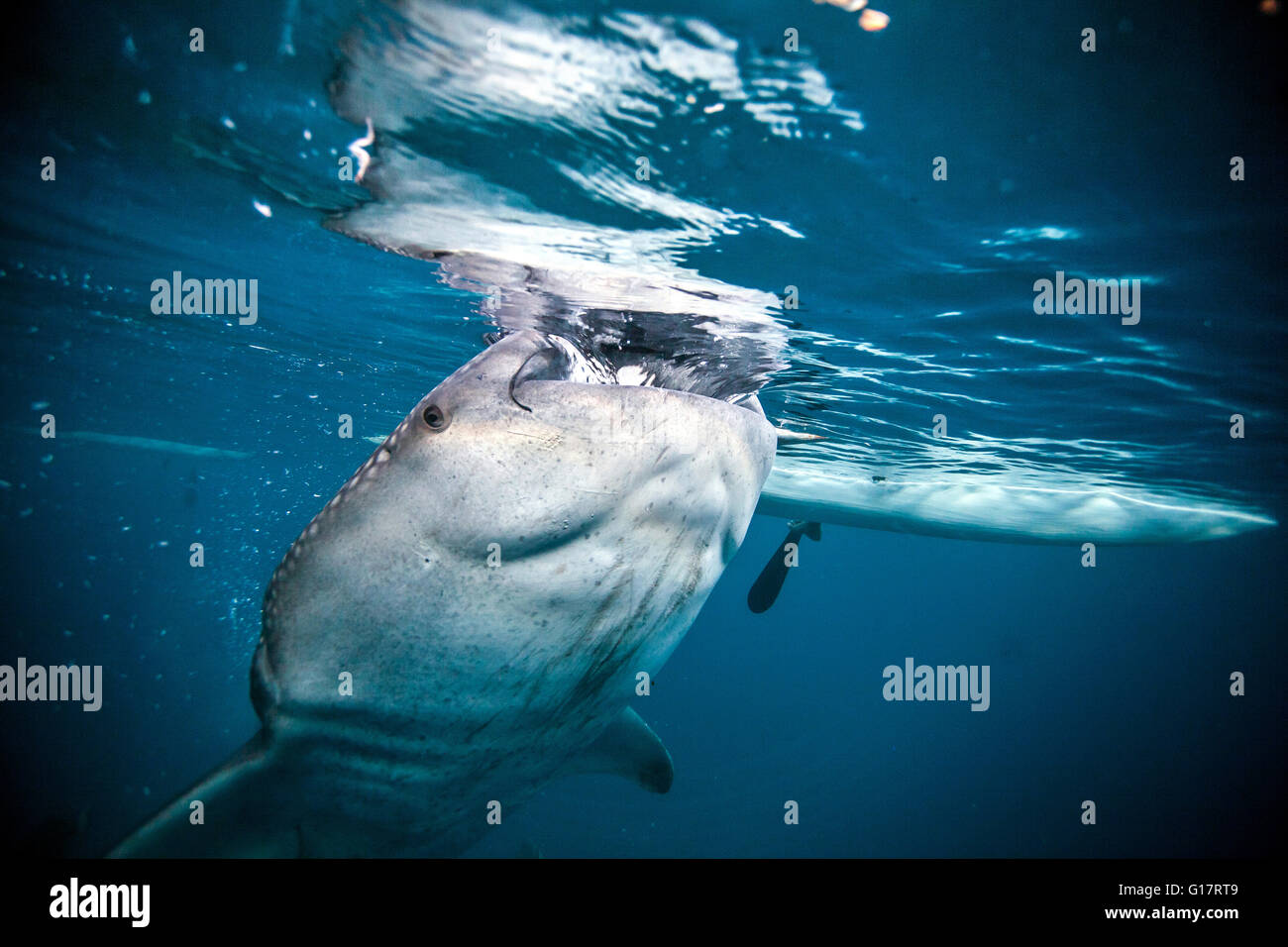 Einen riesigen Walhai (Rhincodon Typus) Schwimmen unter einem Boot,, Cebu, Philippinen Stockbild