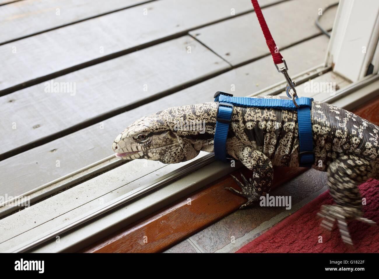 Ein argentinischer schwarz-weiß Teju trägt ein Geschirr und eine Leine im Freien spazieren gehen. Stockbild