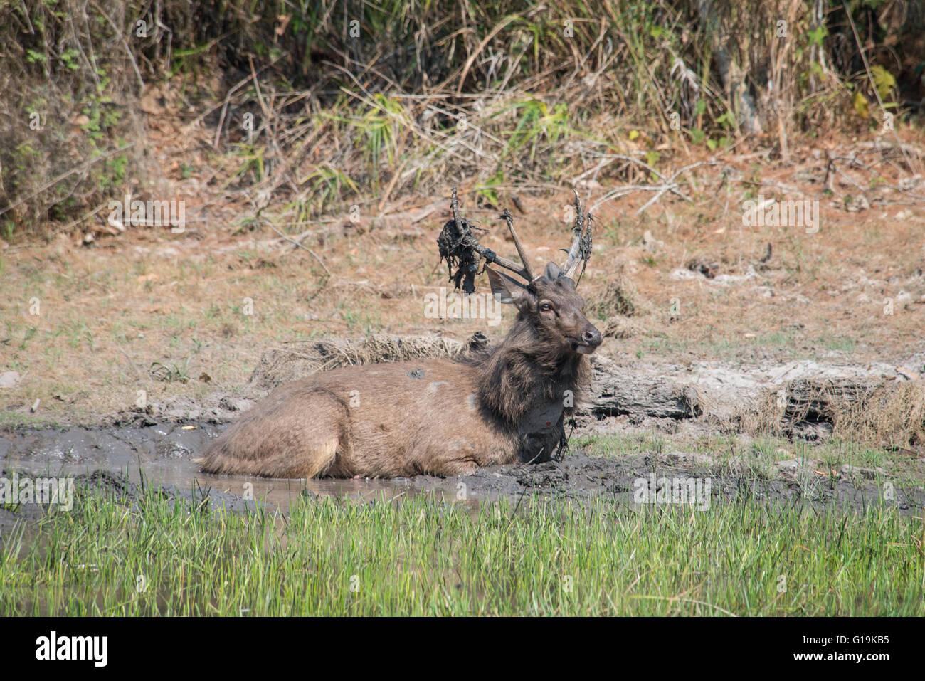 Sambar (Rusa unicolor) ist eine große Hirsche in den indischen Subkontinent, Südchina und Südostasien Stockbild