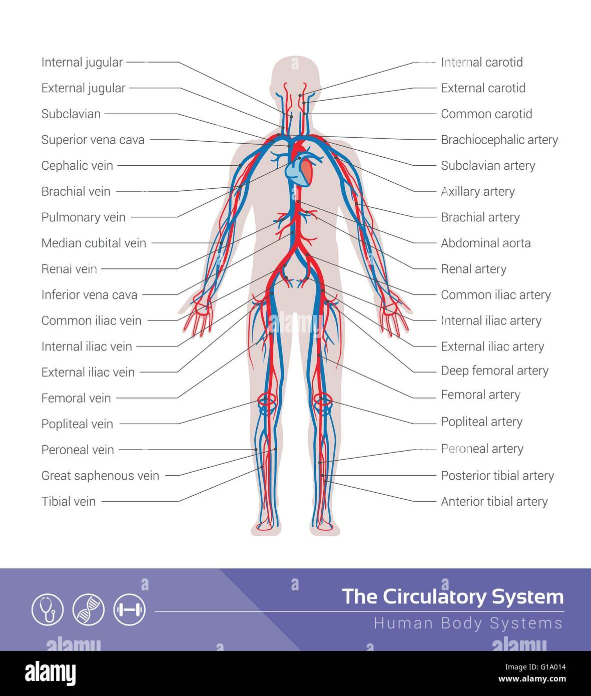 Der Körper zirkulierenden oder Herz-Kreislauf-System medizinische ...