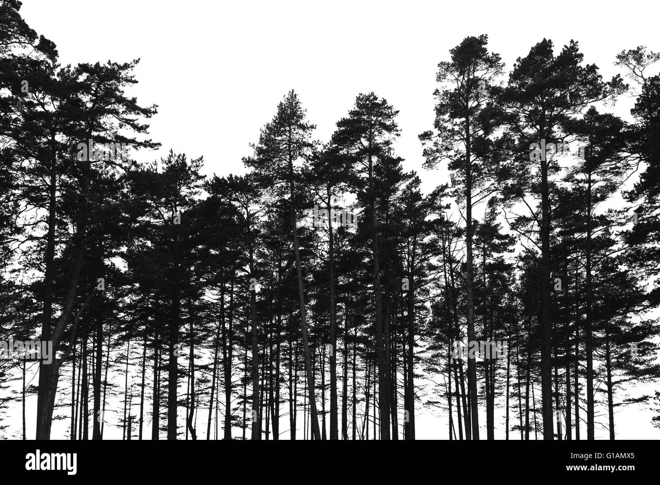 Pinienwald Bäume isoliert auf weißem Hintergrund. Schwarze stilisierte Silhouette Foto Stockbild