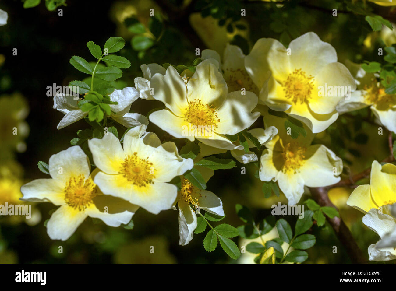 flowering shrub stockfotos flowering shrub bilder alamy. Black Bedroom Furniture Sets. Home Design Ideas