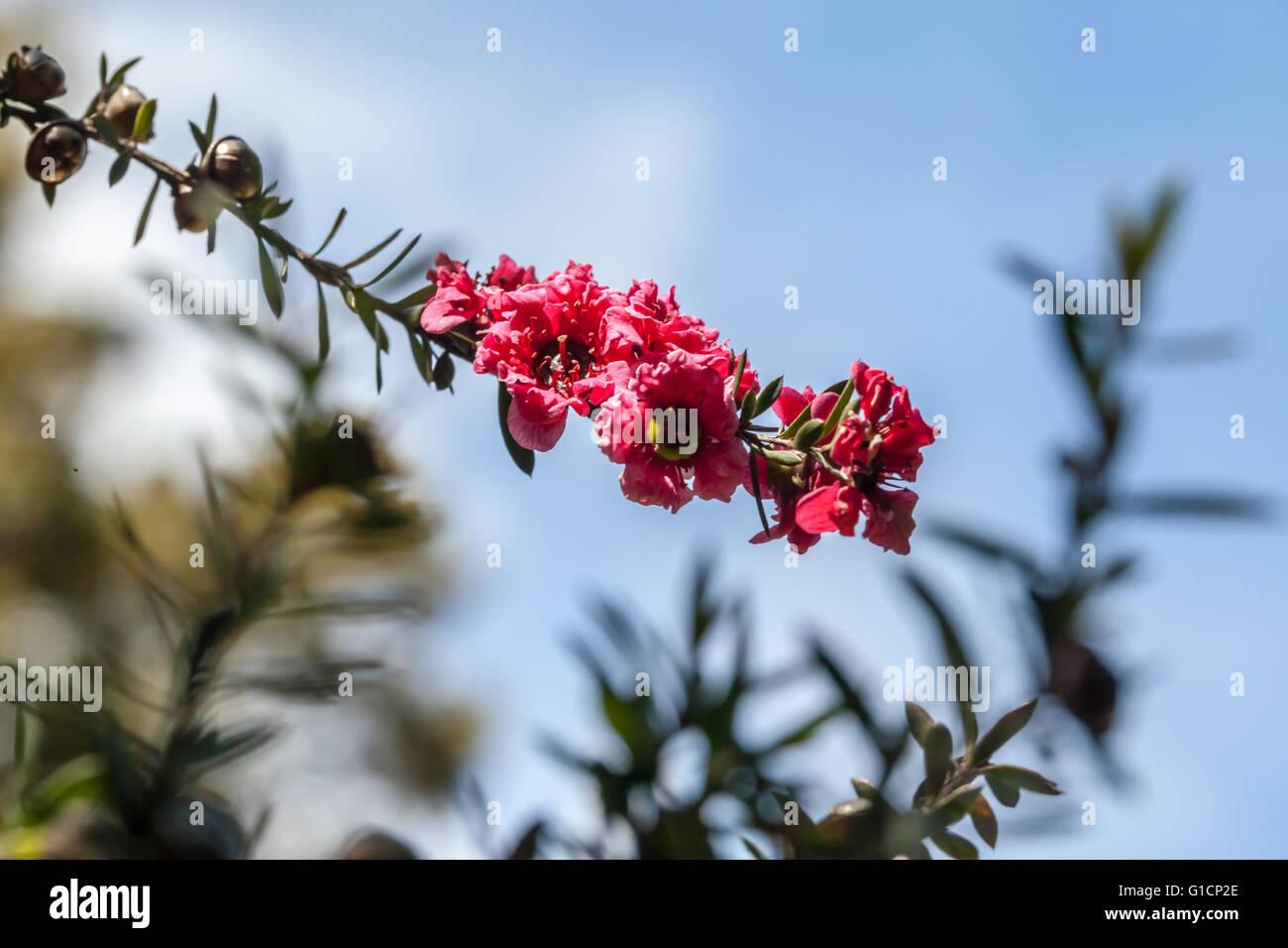 Leptospermum scoparium Stockbild