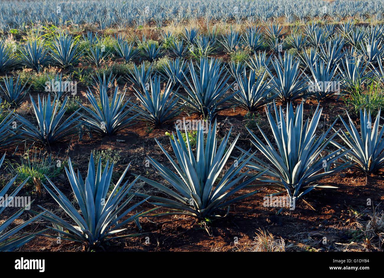 Agavenfelder rund um El Arenal, Jalisco, Mexiko. Stockbild