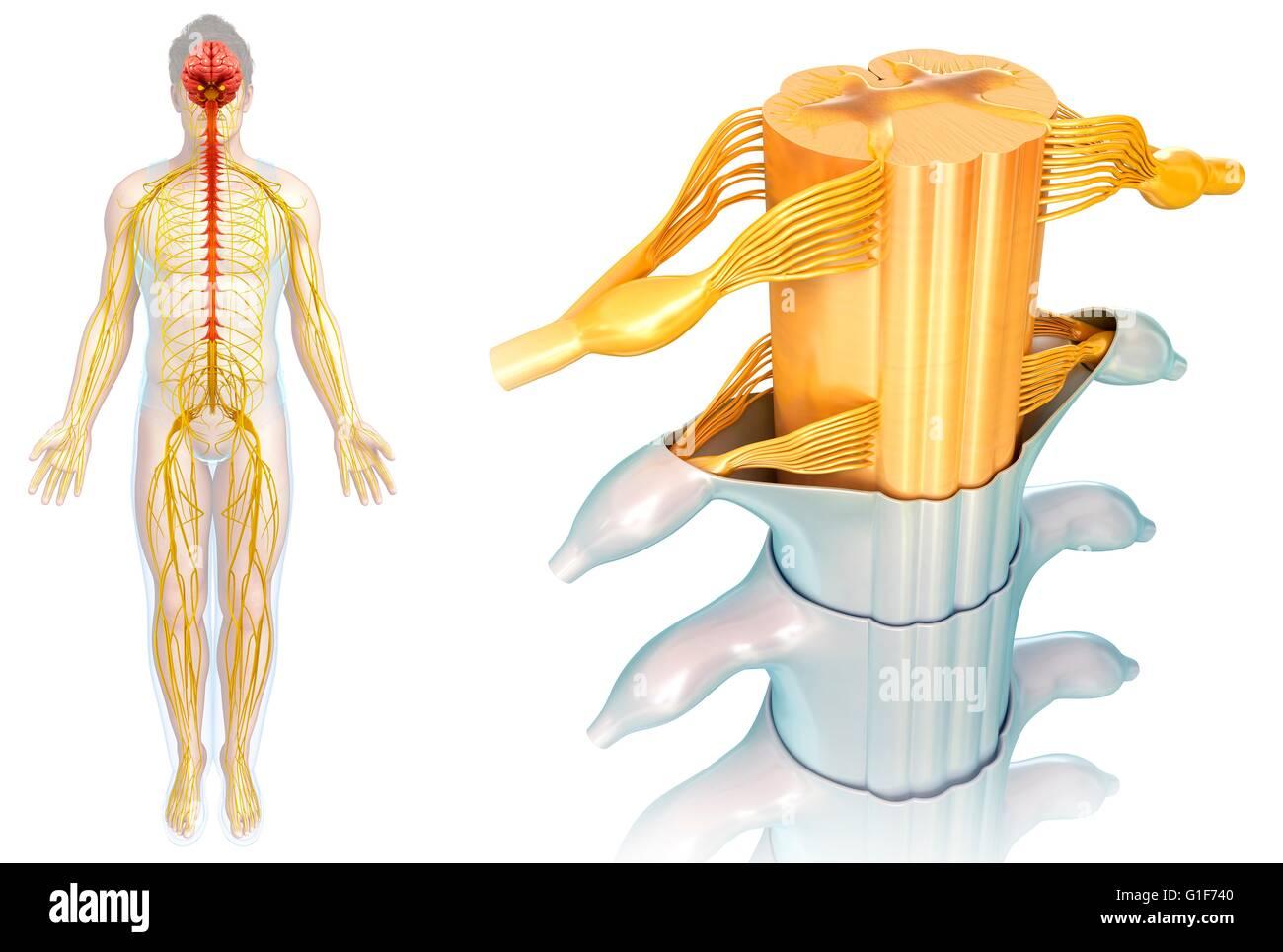Atemberaubend Menschliche Rückenmark Anatomie Galerie - Anatomie ...