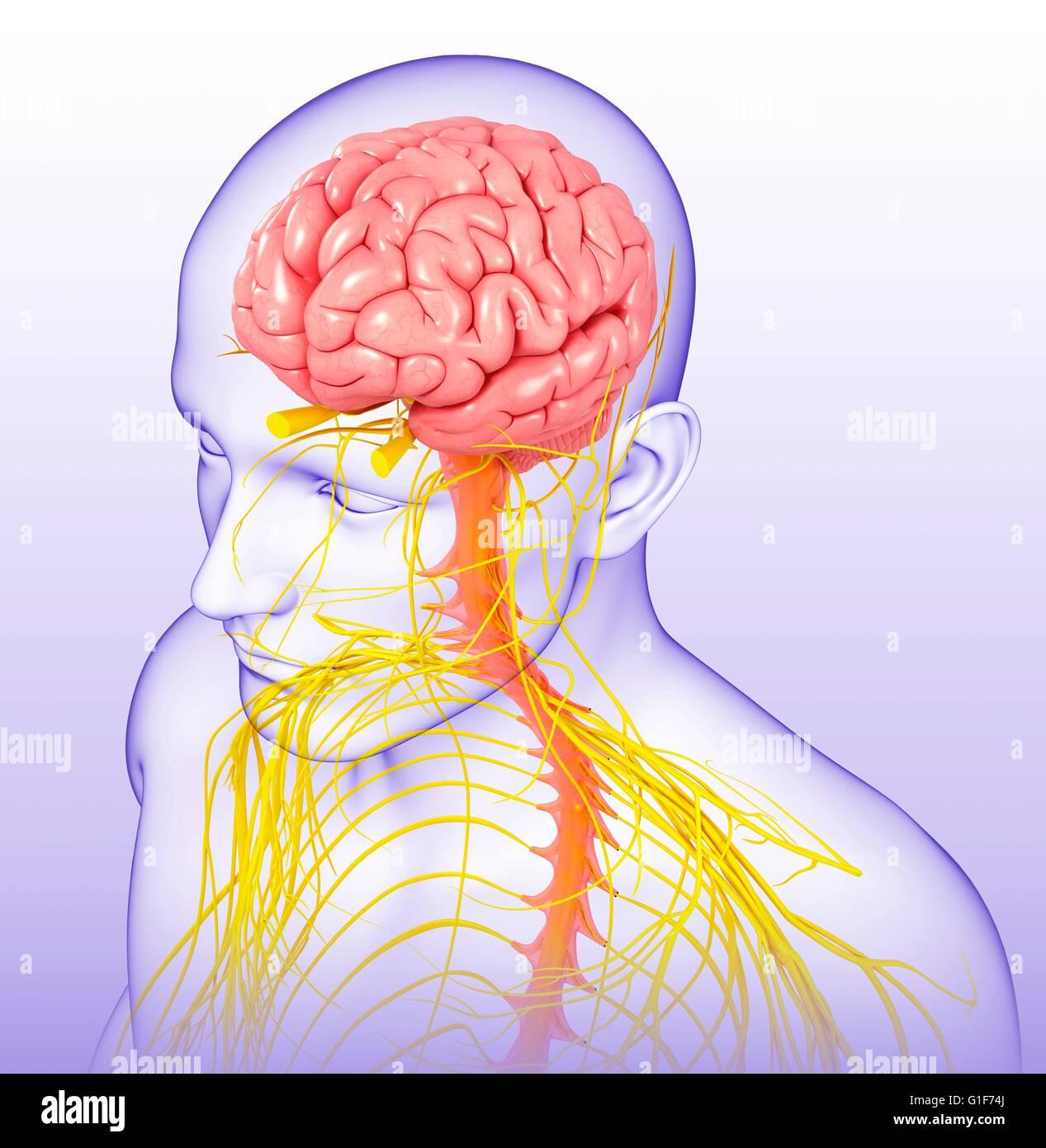 Spinal Cord Brain Anatomy 3d Stockfotos Spinal Cord Brain Anatomy