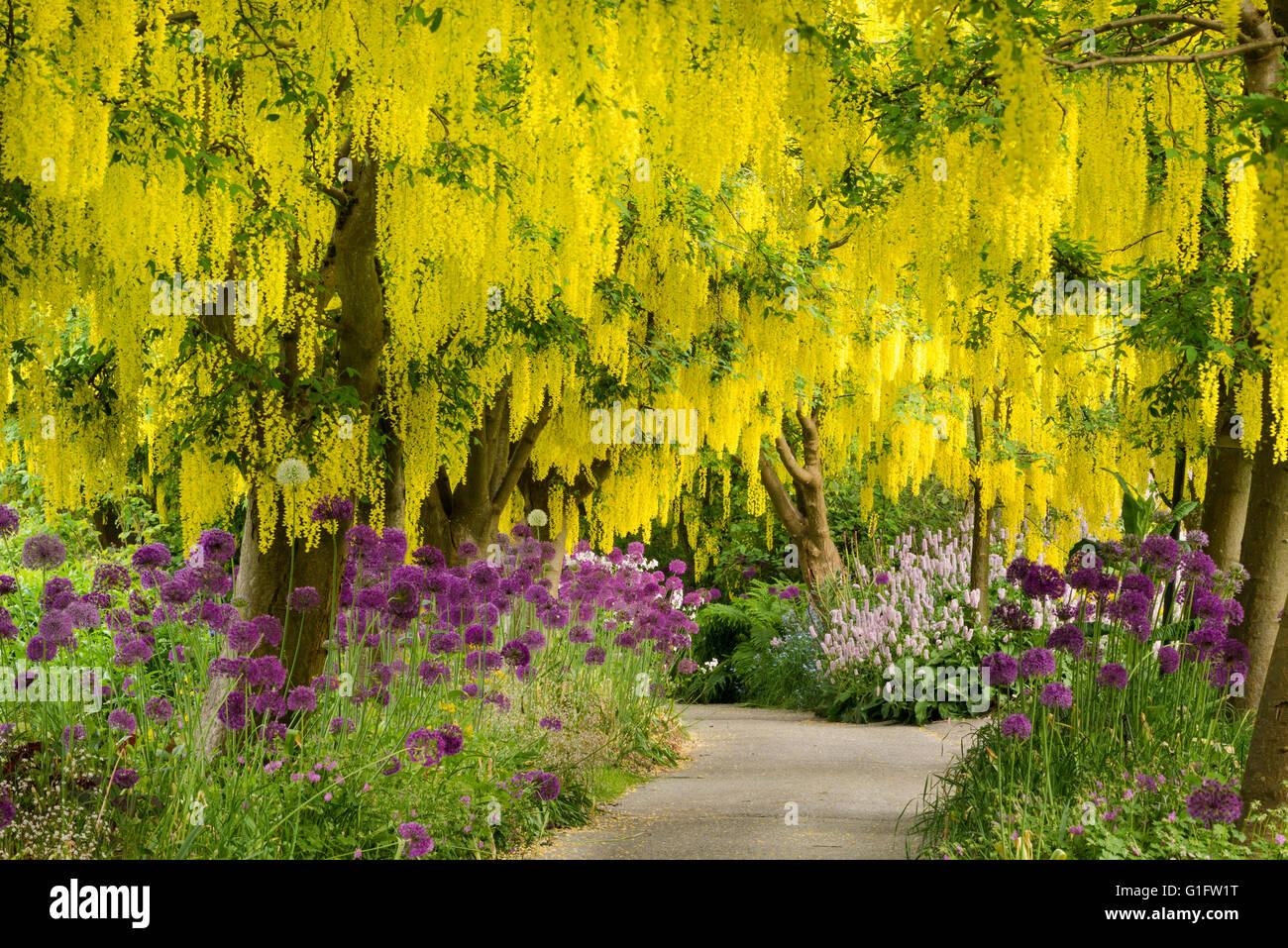 Goldregen (goldene Kette) Bäume und lila Alliums in voller Blüte im VanDusen Botanical Garden in Vancouver, Stockbild