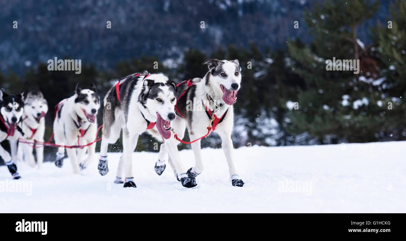 sportliche Hunde-Team läuft im Schnee Stockbild