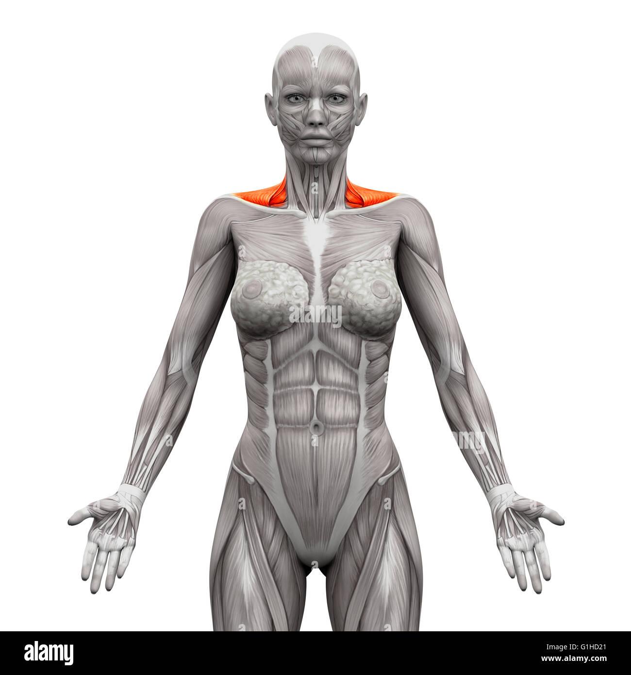 Trapezmuskel vorne Nackenmuskulatur - isoliert Anatomie Muskeln auf ...