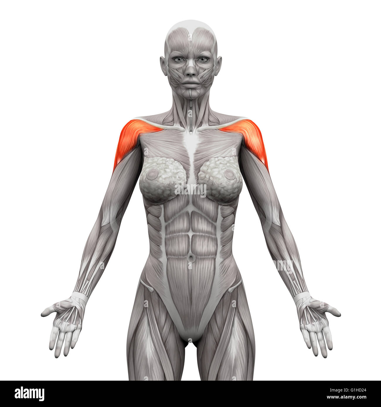 Female Body Muscles Illustration On Stockfotos & Female Body Muscles ...