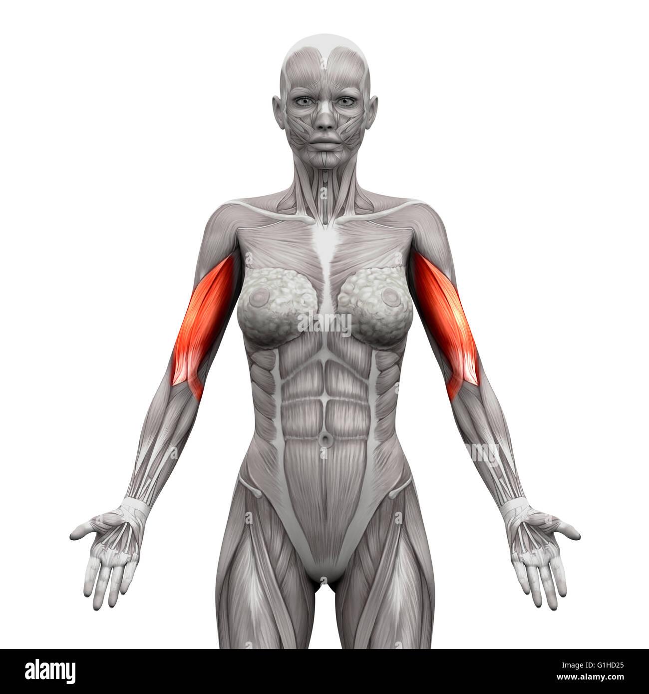 Schön Arm Anatomie Muskeln Zeitgenössisch - Menschliche Anatomie ...