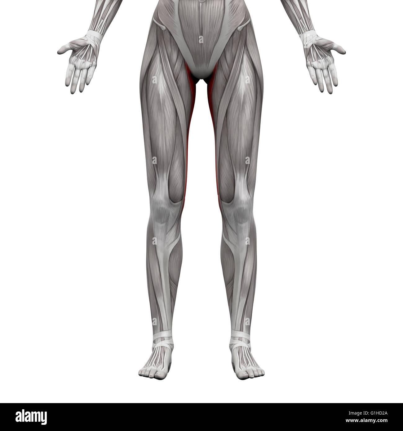 Schön Lernen Anatomie Muskeln Bilder - Menschliche Anatomie Bilder ...