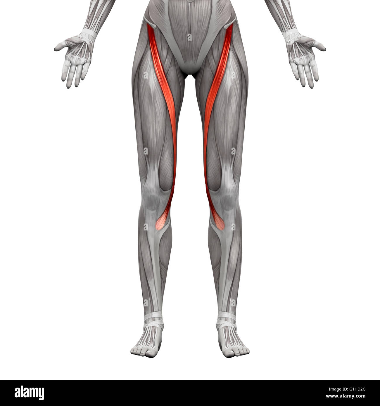 Berühmt Flanke Muskeln Anatomie Zeitgenössisch - Menschliche ...