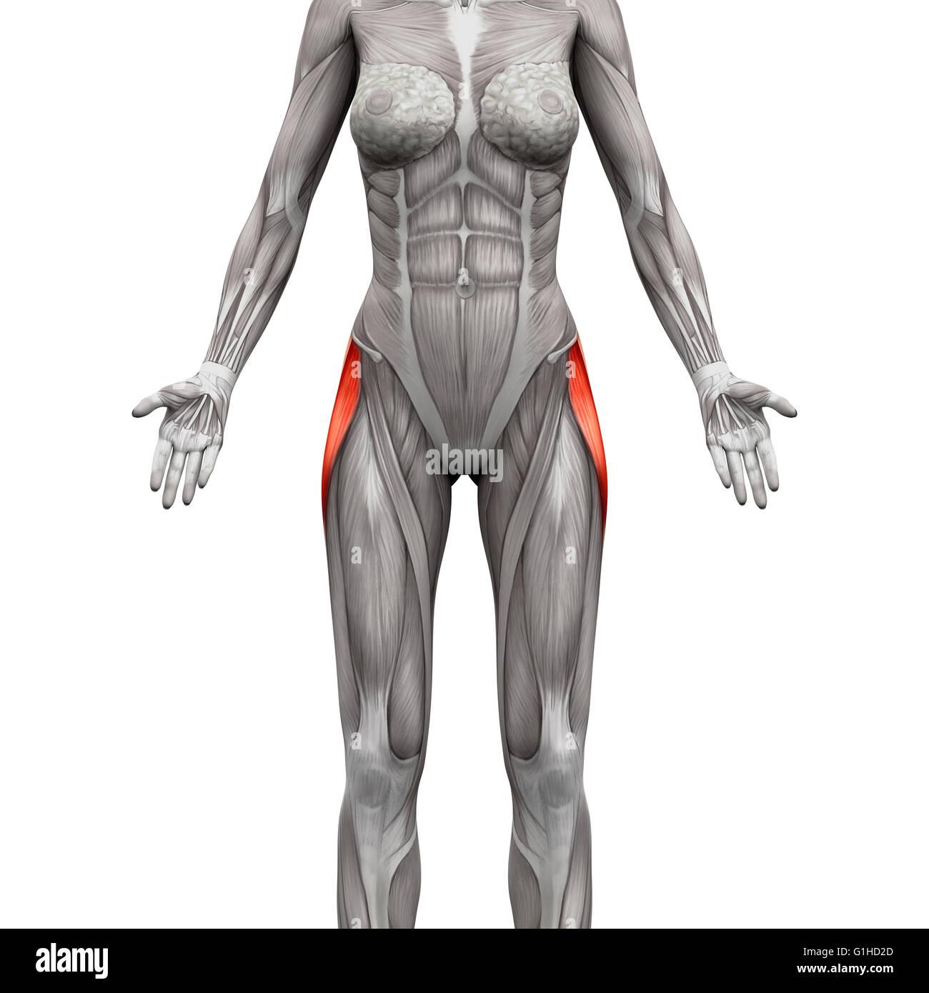 Tensor Faszien Latae Muskel - isoliert Anatomie Muskeln auf weiss ...