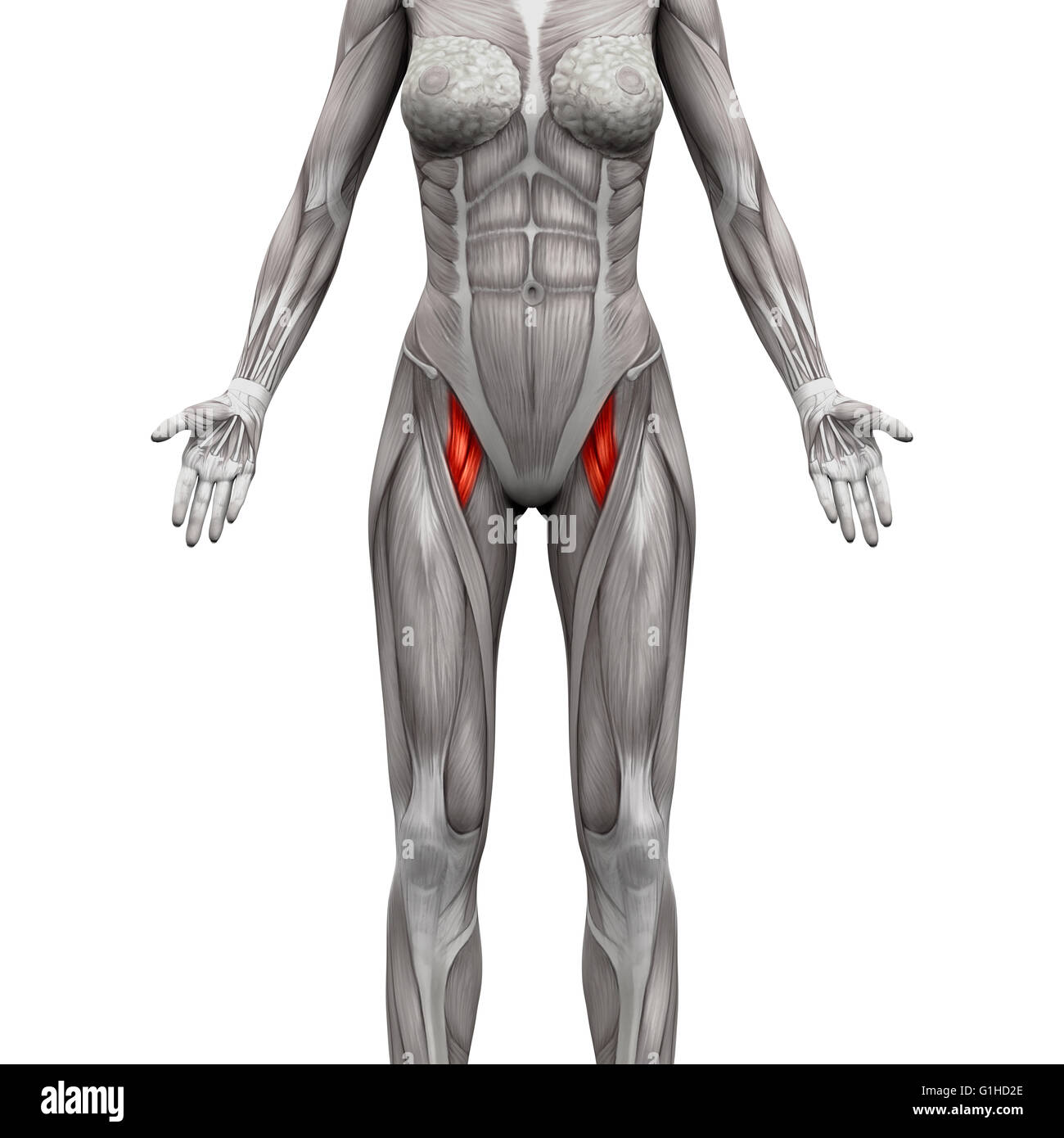 Adductor Brevis und Adductor Longus Muskel - Anatomie Muskeln ...