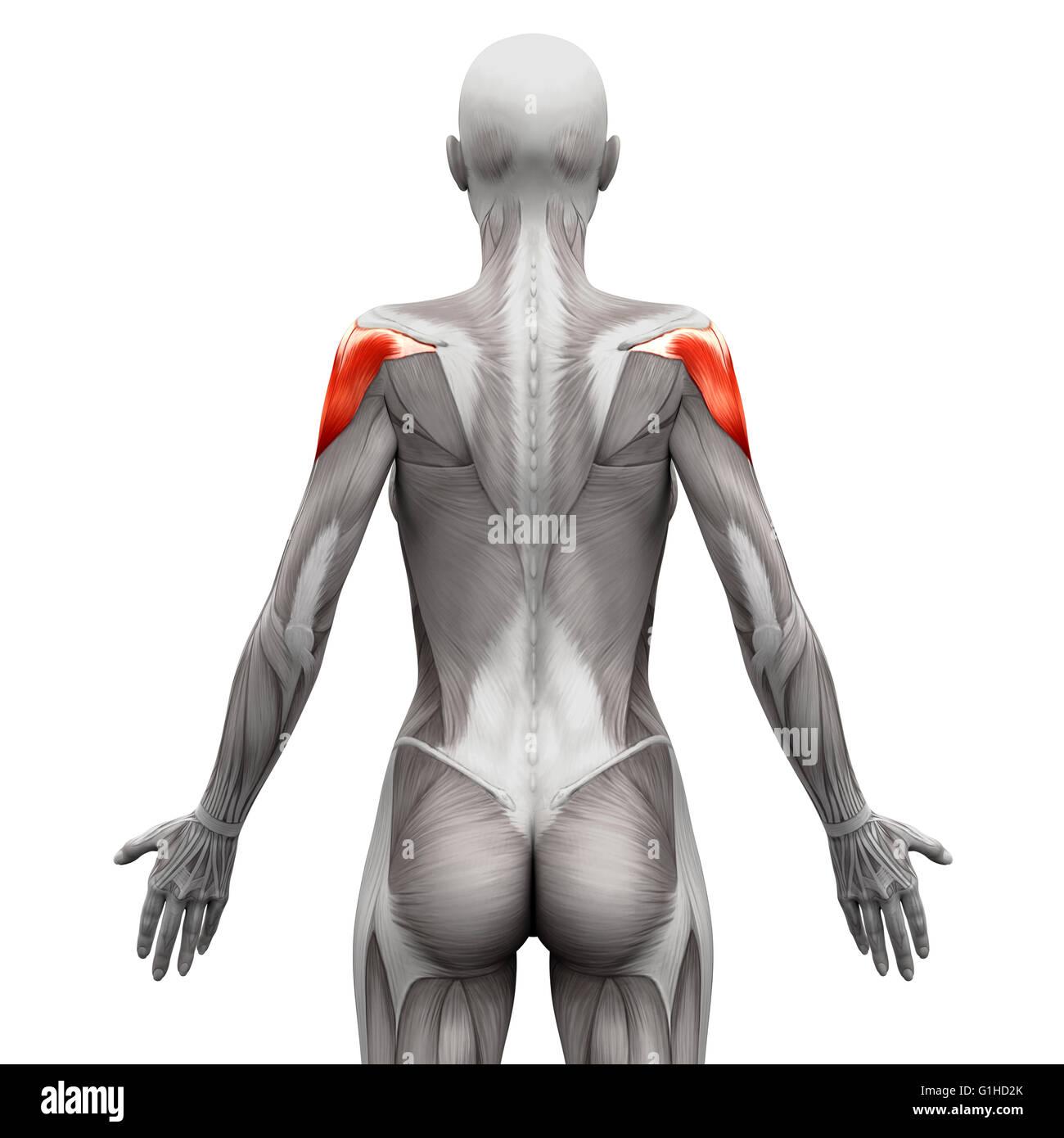 Musculus deltoideus - isoliert Anatomie Muskeln auf weiss - 3D ...