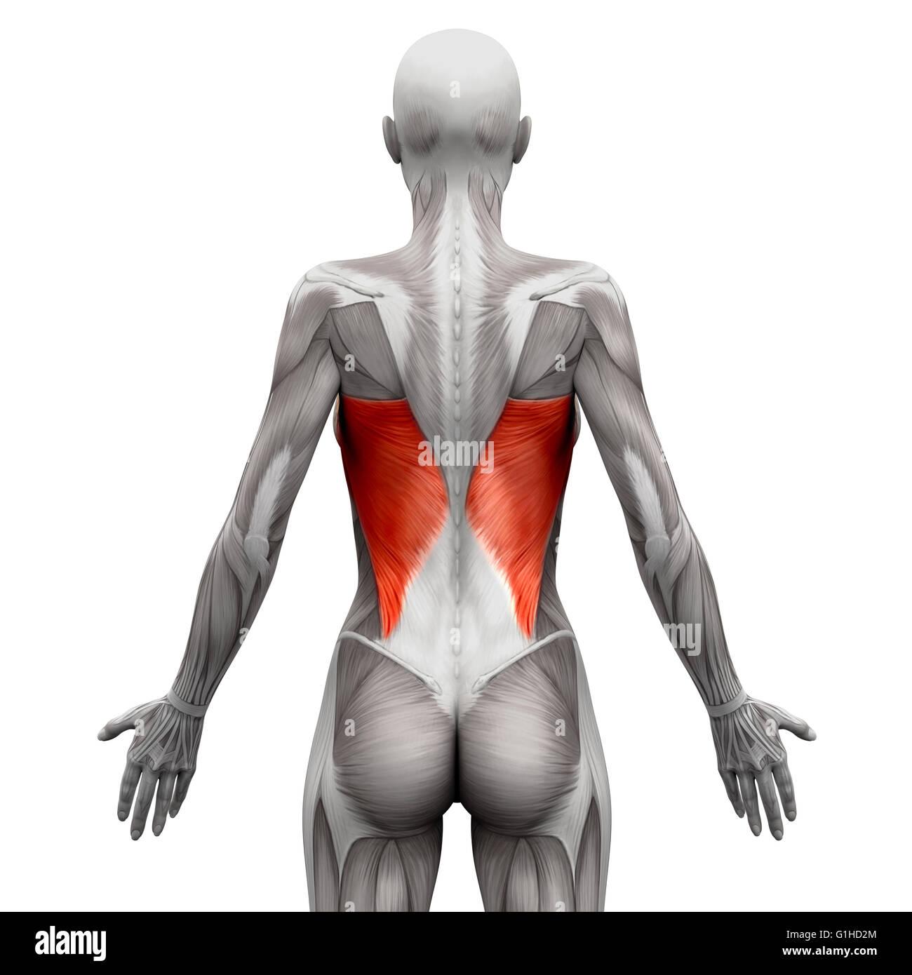 Latissimus Dorsi - isoliert Anatomie Muskeln auf weiss - 3D ...