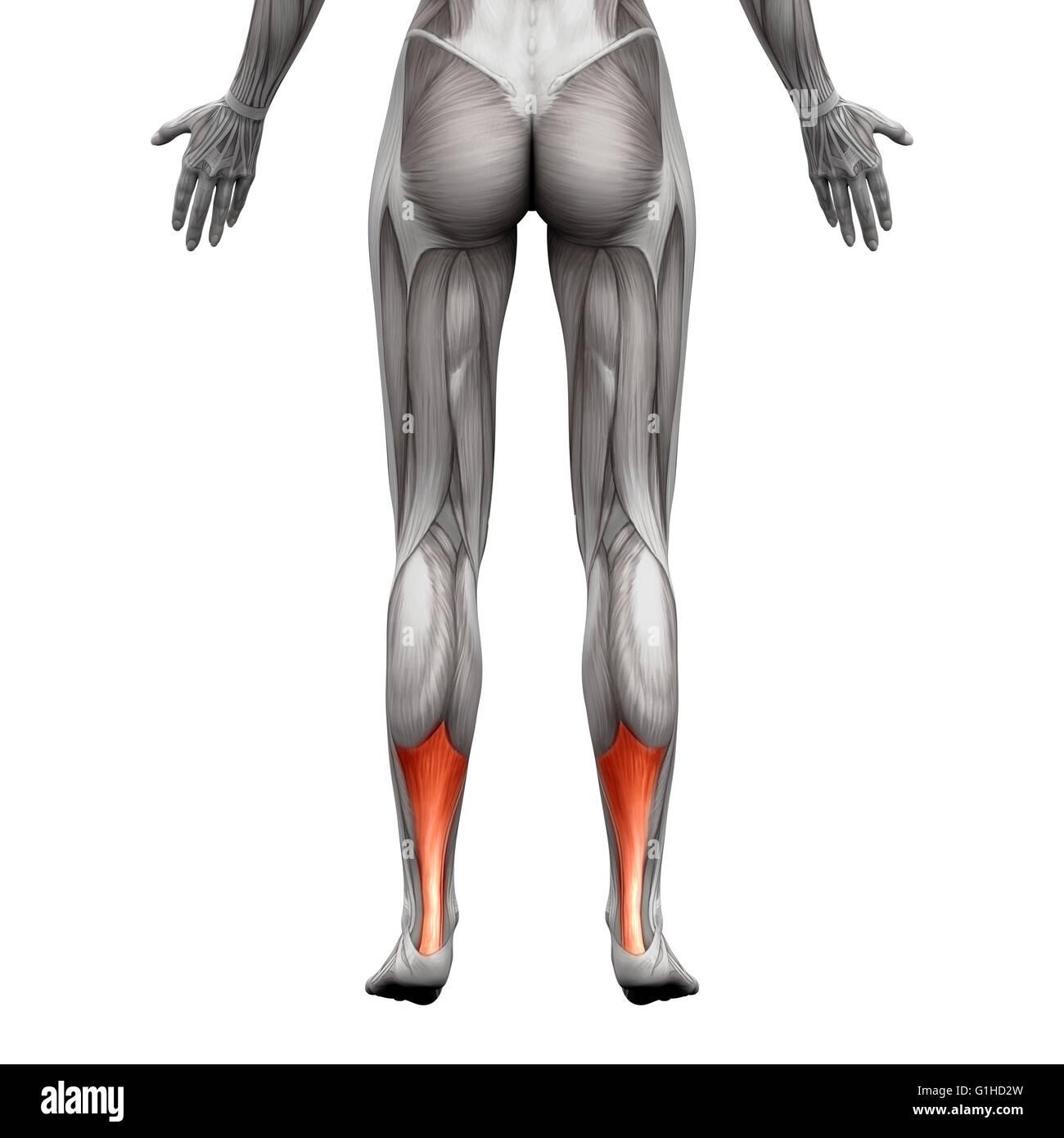 Ziemlich Menschliche Anatomie Muskeln Diagramm Fotos - Menschliche ...