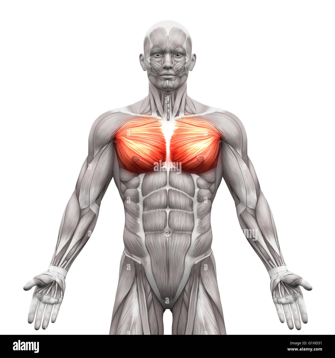 Ausgezeichnet Muskeln Der Brust Fotos - Menschliche Anatomie Bilder ...