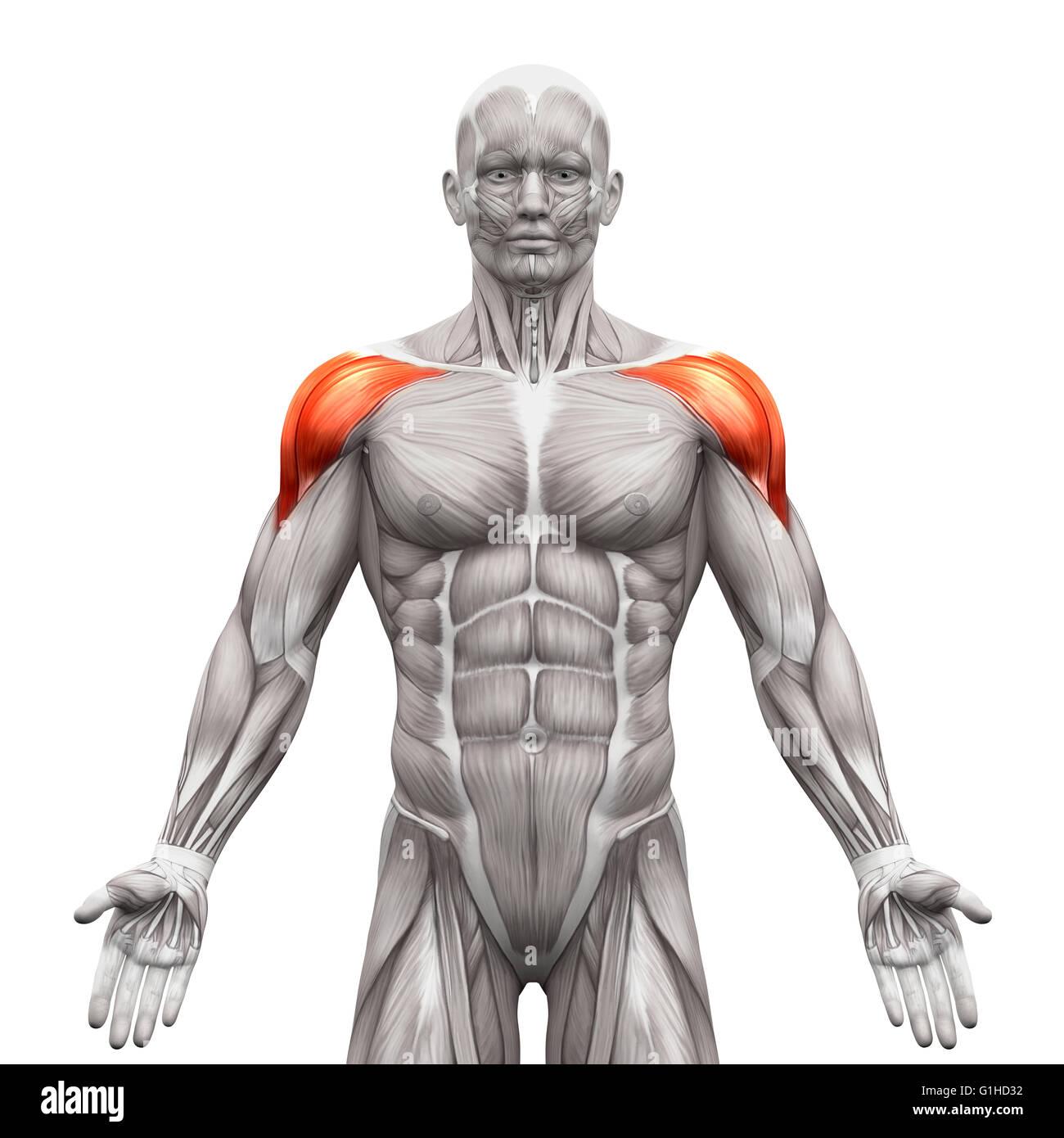 Deltoid Muskeln Anterior - isoliert Anatomie Muskeln auf weiss - 3D ...