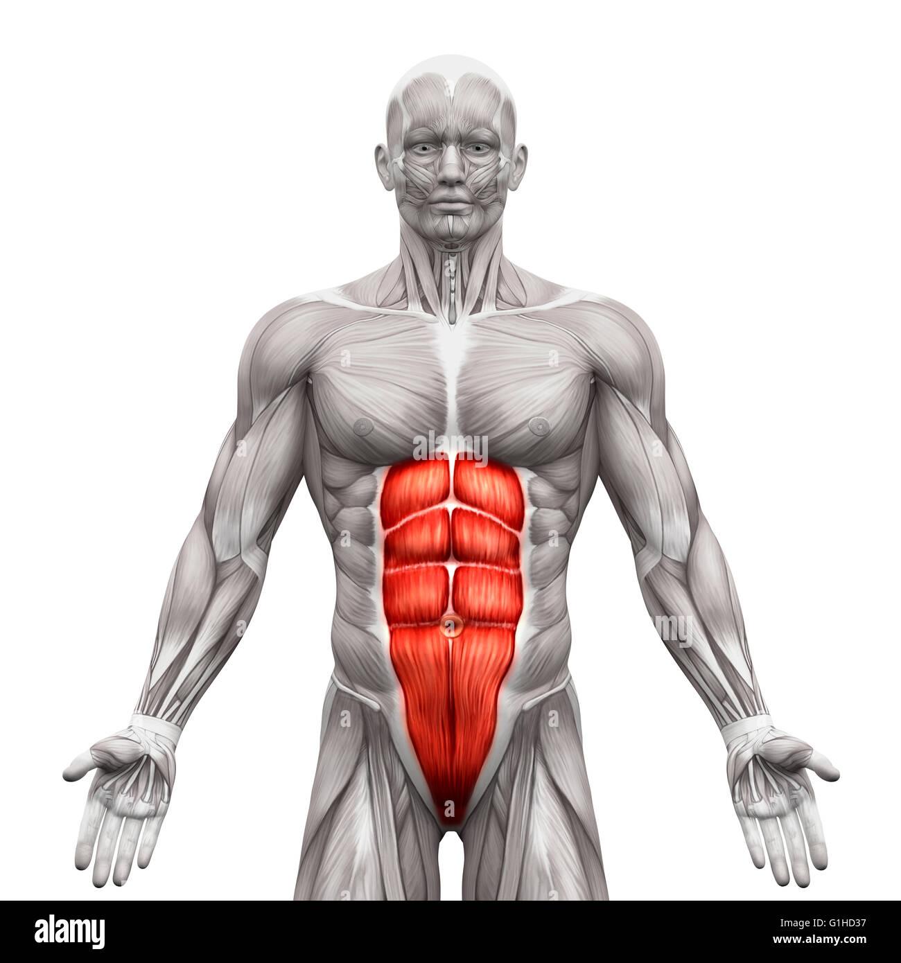 Tolle Lernen Anatomie Muskeln Galerie - Anatomie Von Menschlichen ...