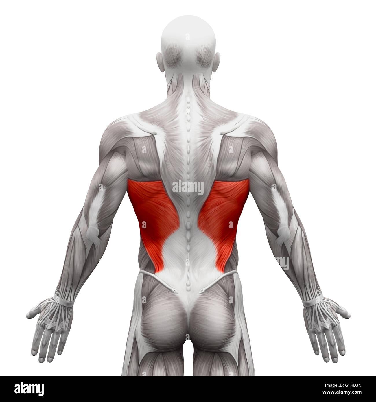 Gemütlich Muskeln Oberkörper Ideen - Menschliche Anatomie Bilder ...