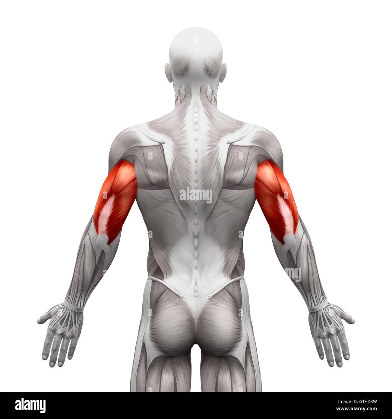 Trizepsmuskeln - isoliert Anatomie Muskeln auf weiss - 3D ...