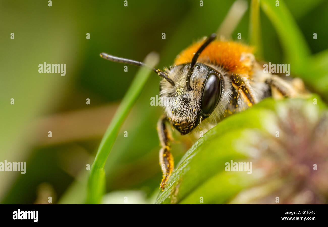 Frühe Mining Bee (Andrena Haemorrhoa) Stockbild