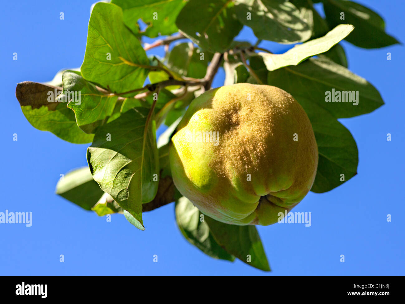 Gereifte Quitten-Früchte hängen von einem Ast gegen blauen Himmel Stockbild