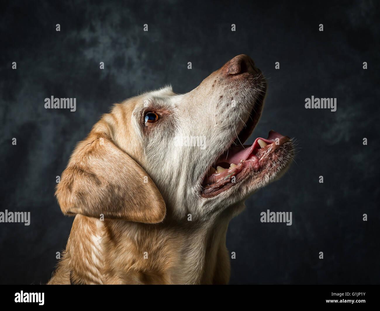 Gelber Labrador Retriever Stockbild