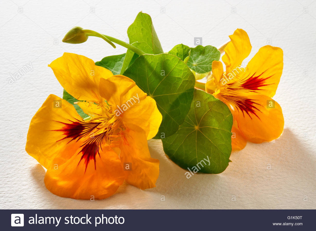 yellow nasturtium tropaeolum stockfotos yellow. Black Bedroom Furniture Sets. Home Design Ideas