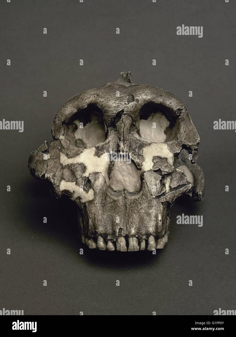 Reproduktion von einem Schädel von Paranthropus robustus benannt lieber Junge. 1,8 Millionen Jahren. Aus der Stockbild