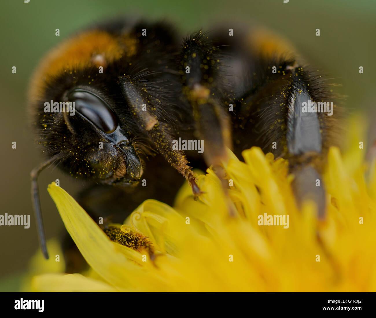Eine Biene bedeckt mit Pollen auf einer wilden Blume. Stockbild
