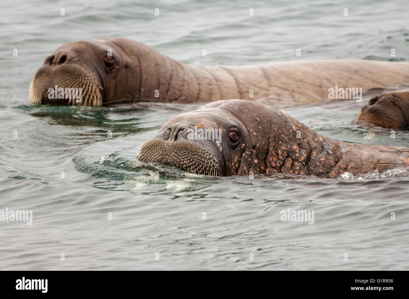 Walross (Odobenus Rosmarus), Torellneset Island, Spitzbergen, Arktis Norwegen Stockbild