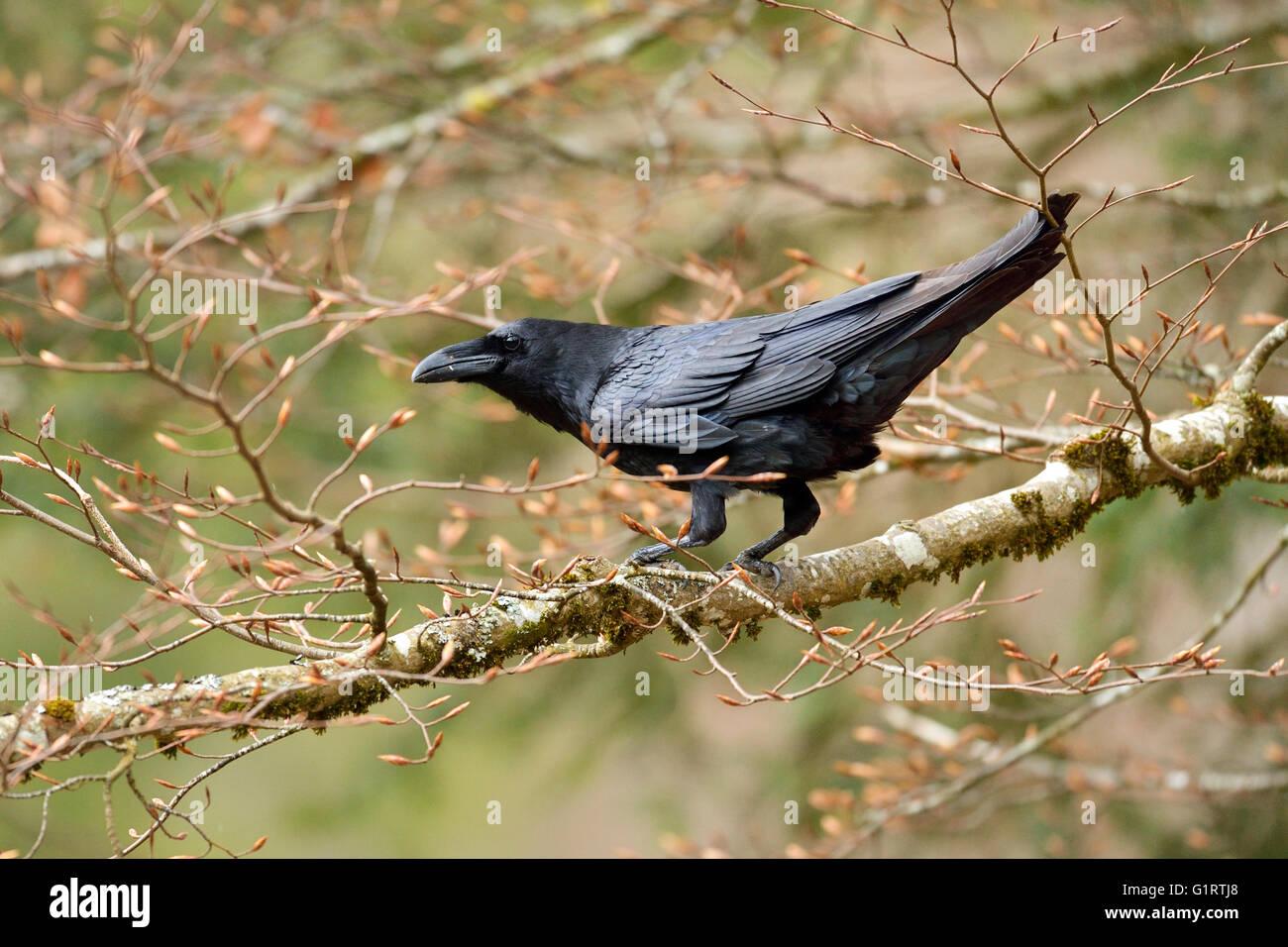 Raven (Corvus Corax) sitzt im Baum auf Zweig, Kanton Jura, Schweiz Stockbild