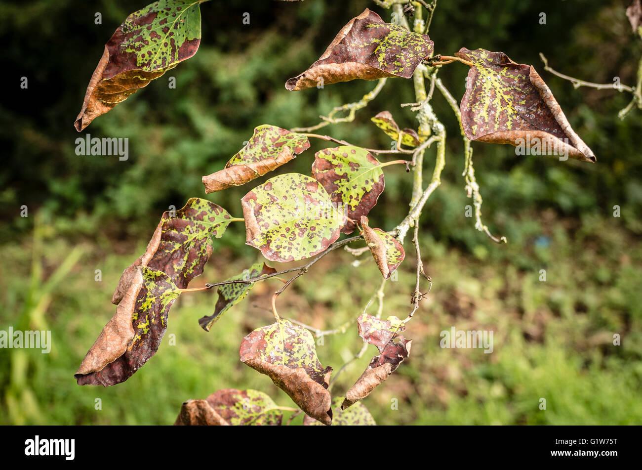 Zeichen der Bedrängnisses auf Blättern von Cydonia Oblonga führt zu reduzierten Fruchtkörper Stockbild