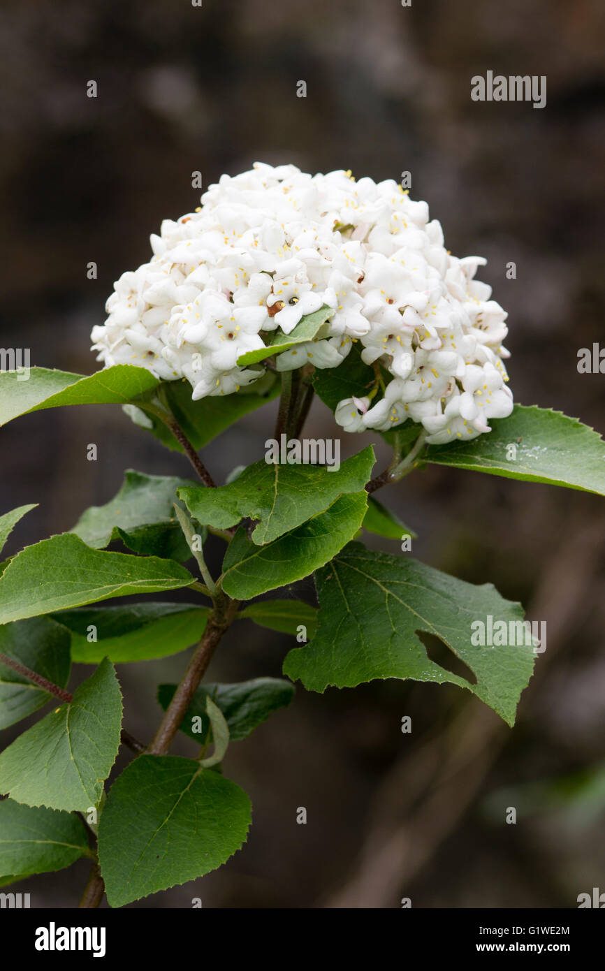 Kugelige Blüte Duftend Sommergrünen Schneeball Strauch Viburnum X