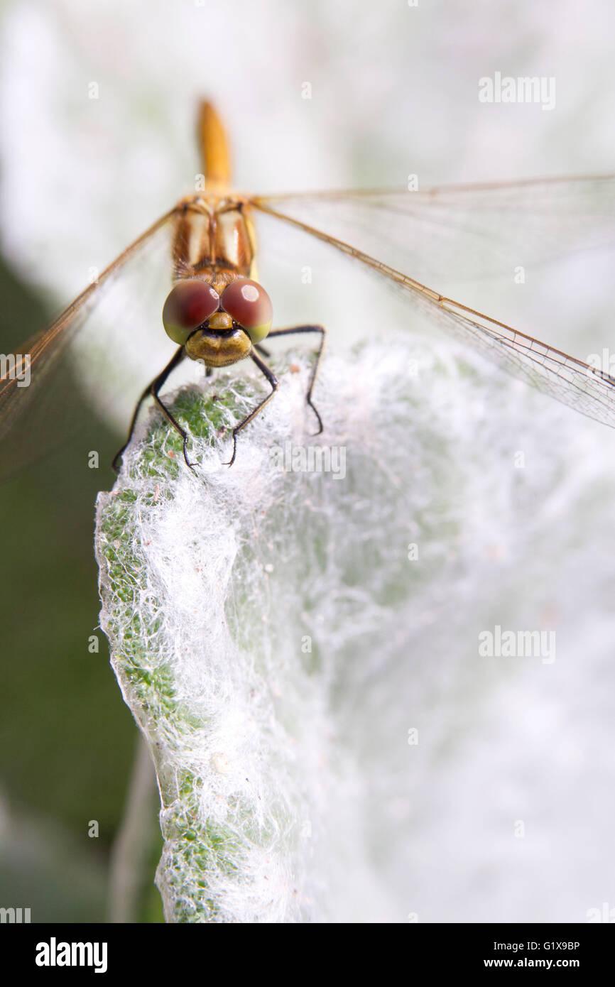 Gemeinsamen Darter (Sympetrum Striolatum) Libelle sitzt auf dem Rand eines Blattes Silber Salvia (Salvia Argentea), Stockbild