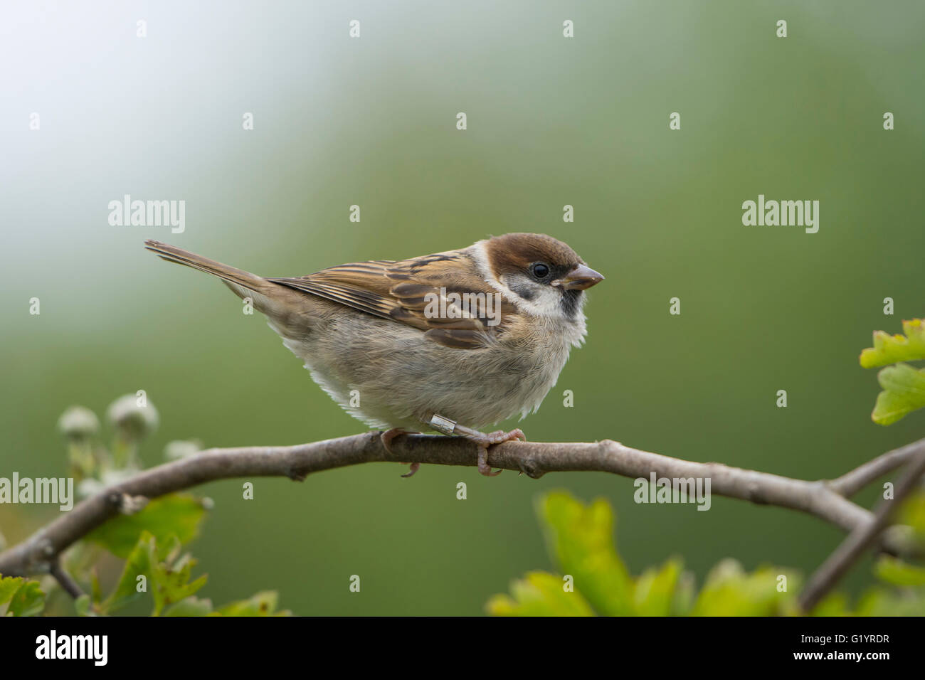 young tree sparrow passer montanus stockfotos young tree sparrow passer montanus bilder alamy. Black Bedroom Furniture Sets. Home Design Ideas