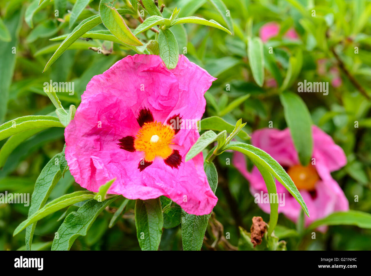 Lila Zistrosen (Cistus Purpureus) blühende Strauch im Frühjahr in West Sussex, UK. Stockfoto