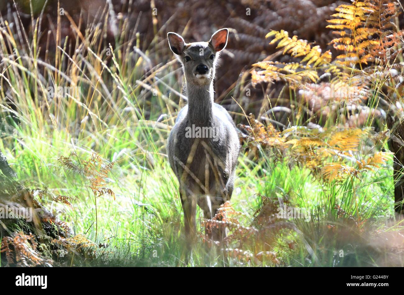 Sika deer Stockbild