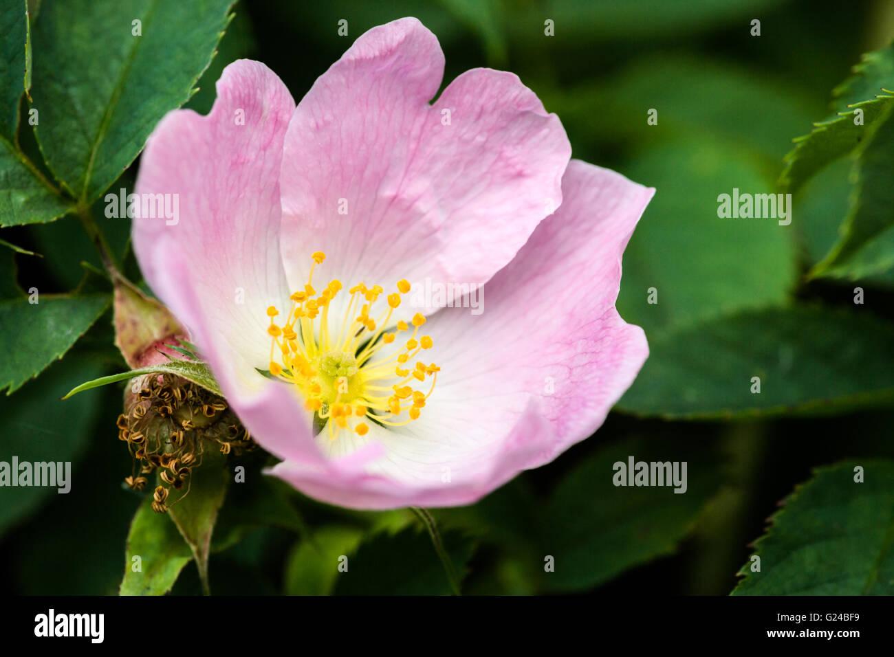 Hundsrose Rosa Canina Blume Berkshire, Vereinigtes Königreich Stockbild