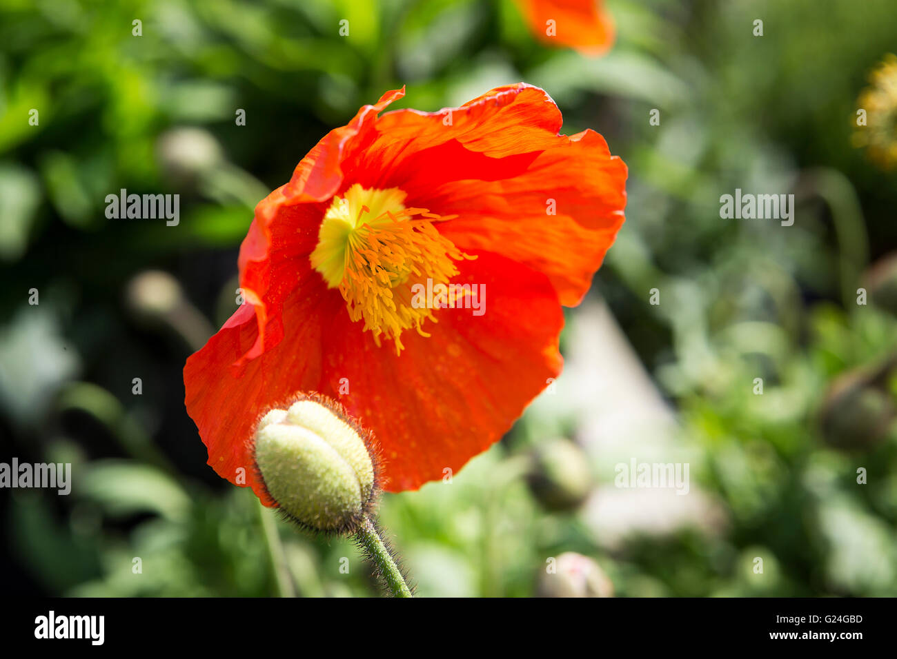 arctic poppies stockfotos arctic poppies bilder alamy. Black Bedroom Furniture Sets. Home Design Ideas