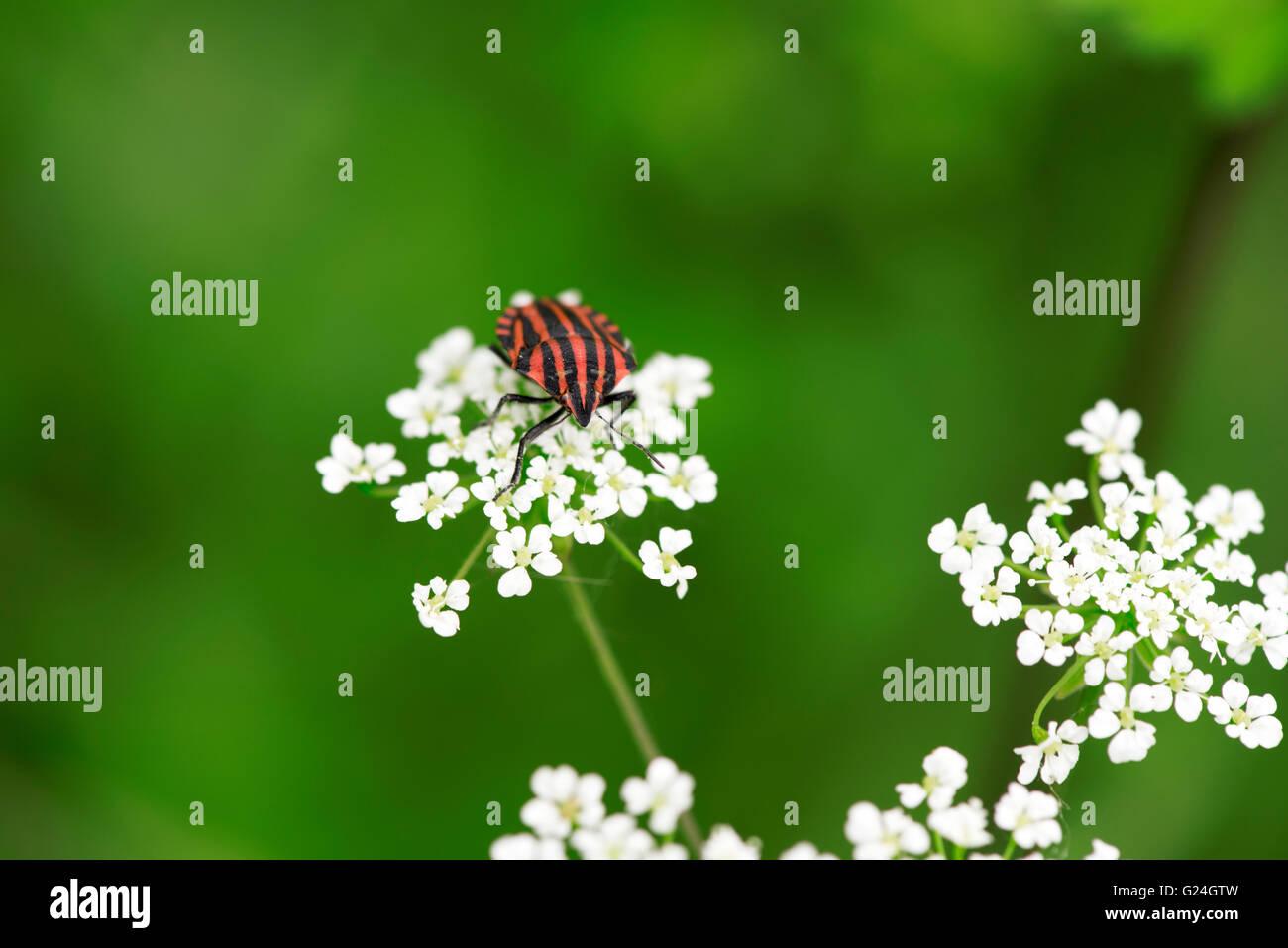 red black striped shield bug stockfotos red black. Black Bedroom Furniture Sets. Home Design Ideas