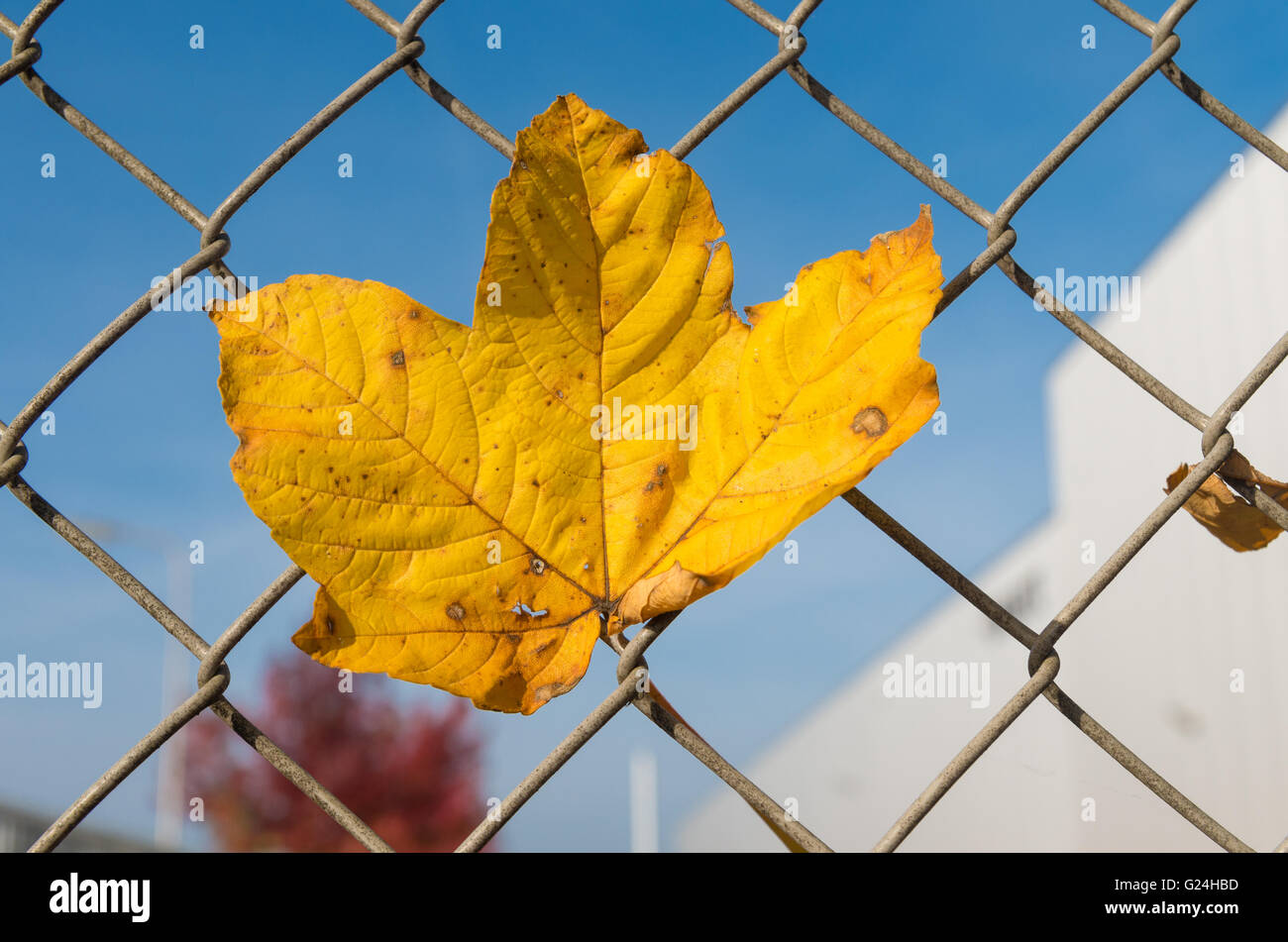 Autumn Leaf On Metal Wire Stockfotos & Autumn Leaf On Metal Wire ...