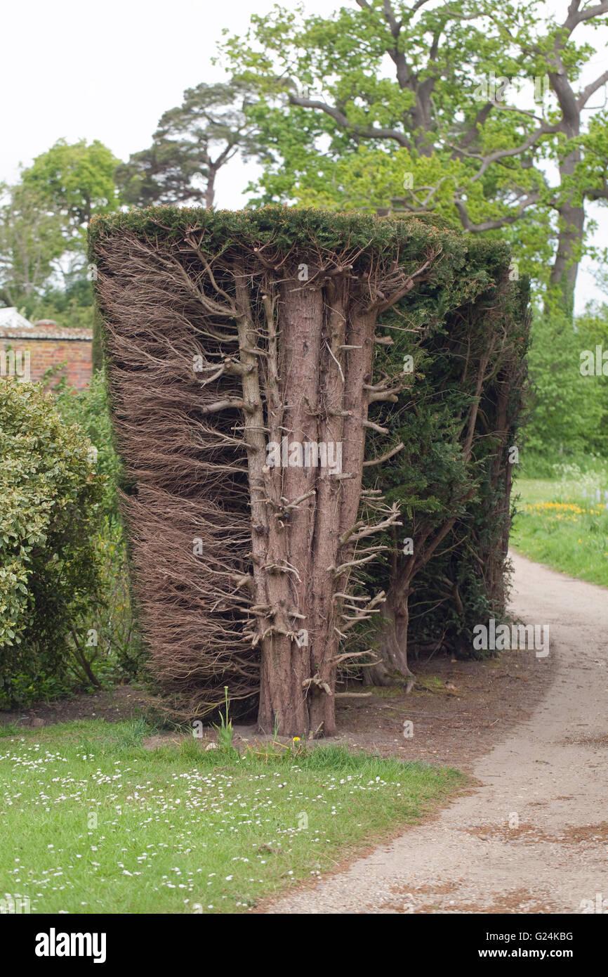 hecke eibe (taxus baccata). hecke zurückschneiden aufschlussreiche